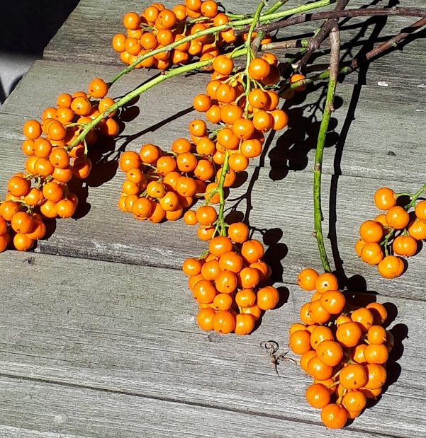 A display of Bittersweet before orange capsules before opening to show red berries.