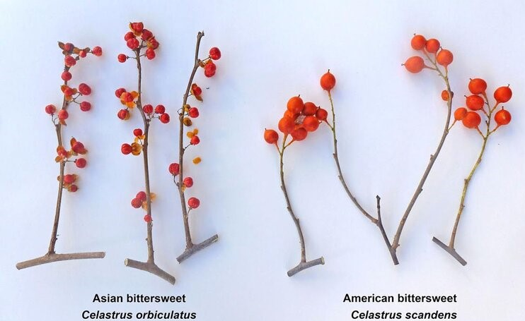 Comparison of Asian and American Bittersweet